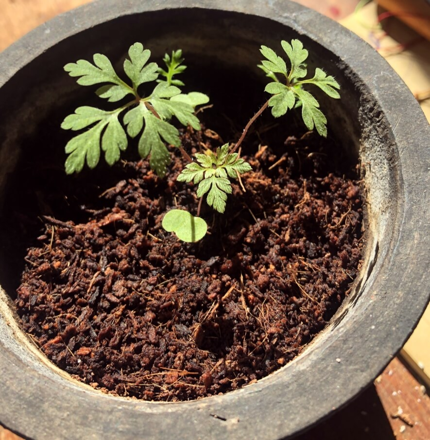 Geranium robertianum fra frø